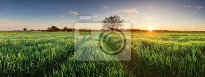Naklejka Wheat field at sunset, panorama