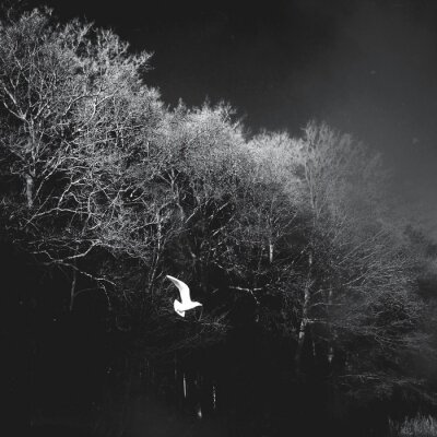 Naklejka White Bird Flying Against Bare Trees