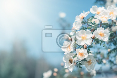 Naklejka White bush roses on a background of blue sky in the sunlight. Beautiful spring or summer floral background.