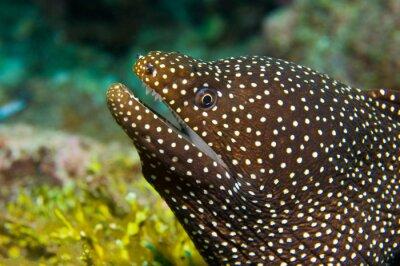 Naklejka Whitemouth Moray węgorz w Malediwach