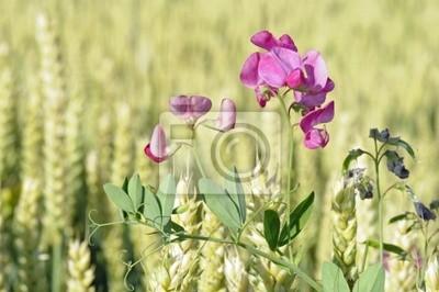 Wicke im Weizenfeld