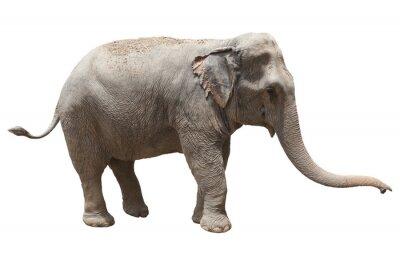 Naklejka widok z boku Słoń odtwarzanie nam samodzielnie białym tle