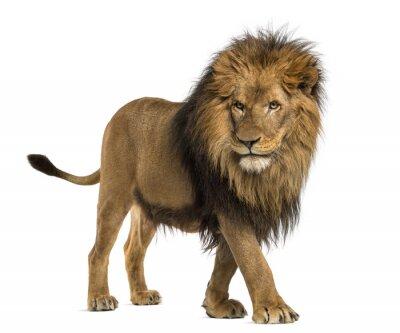 Naklejka Widok z boku z chodzenia Lion, Panthera leo, 10 lat