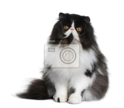 Naklejka Widok Z Przodu Kot Perski Siedzący Z Przodu Białe Tło Na