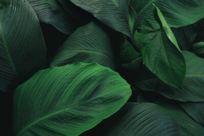 Naklejka Wielki ulistnienie tropikalny liść z ciemnozieloną teksturą, abstrakcjonistyczny natury tło.