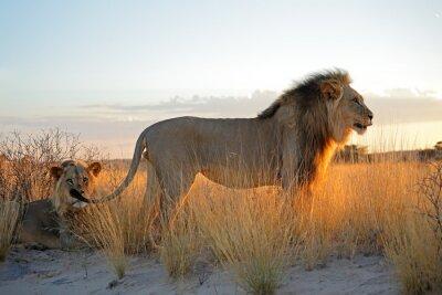 Naklejka Wielkie samce lwów afrykańskich (Panthera leo) w świetle wcześnie rano, pustyni Kalahari, Republika Południowej Afryki.