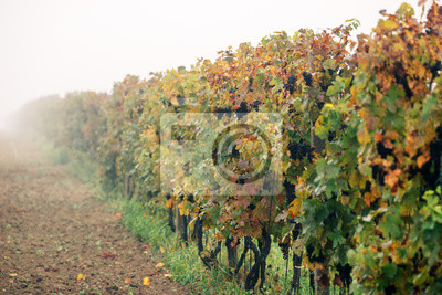 Wiersze winnic w mgle, kiście czarnych winogron żółtych liści. Krajobraz Jesienny w Regionie Moraw Południowych