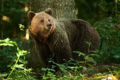 Naklejka Wild brown bear (Ursus arctos) close up