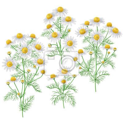 Wild chamomile bunches set.