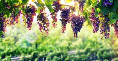 Naklejka Winiarstwo słońca, które dojrzewają winogrona