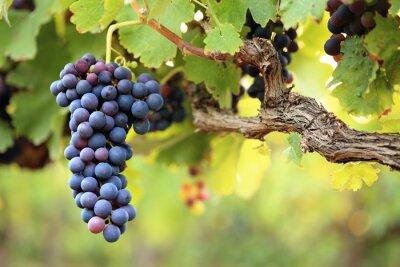 Naklejka Winogrona czerwone wino na starych winorośli, zielonych liści