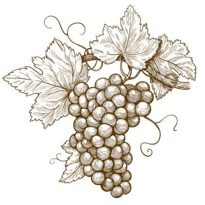 Naklejka winogrona grawerowania na oddział na białym tle