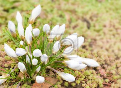 Wiosenne kwiaty, przebiśniegi przeciwko świeżej trawy