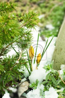 Wiosenne kwiaty, żółte krokusy przed śniegiem