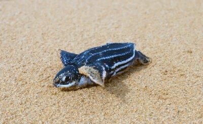 Naklejka Właśnie urodziła dziecko skórzastych żółwie wczołgał się do surfowania