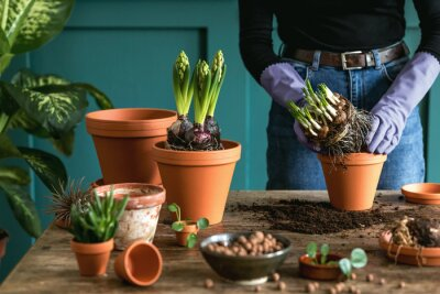 Naklejka Woman gardener is transplanting beautiful plants, cacti, succulents to ceramic pots and taking care of home flowers on the retro wooden table for her concept of home garden.