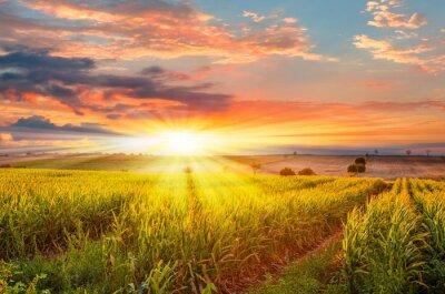 Naklejka Wschód słońca nad polem kukurydzy