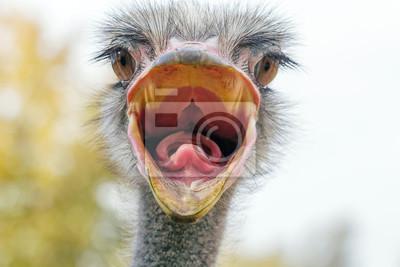 Naklejka Wściekły struś Portret z bliska, Strusia głowa (Struthio camelus)