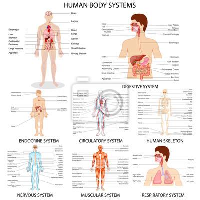 Naklejka Wykres inny system ludzki narząd
