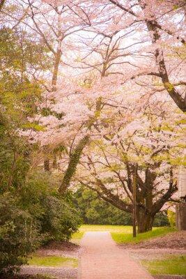 Naklejka 桜 と 国立 天文台 三 鷹 キ ャ ン パ ス