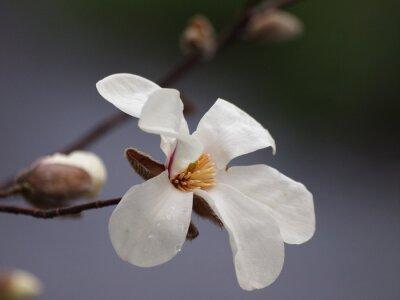 Naklejka 白 木蓮 の 咲 く せ せ ら ぎ の 小径