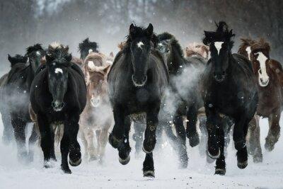 Naklejka 雪原 を 走 る 馬 の 集 団
