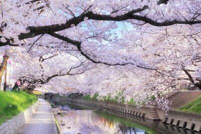 Naklejka 五条 川 の 桜並木