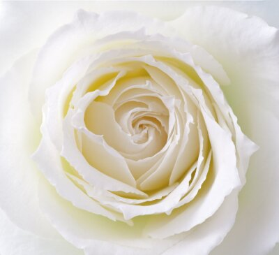 Naklejka バラ, 蔷薇