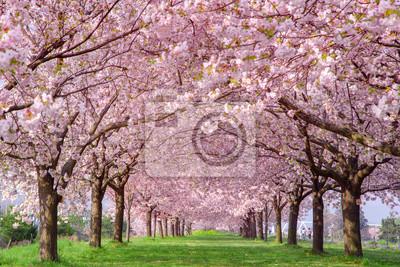 Naklejka 桜の並木 千曲川河川公園・長野県小布施町