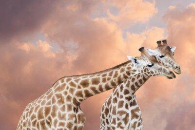Naklejka Para de girafes dans un Ciel de nuages róże