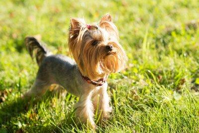 Naklejka Yorkshire terrier, przyjazny dla zwierząt, piesek