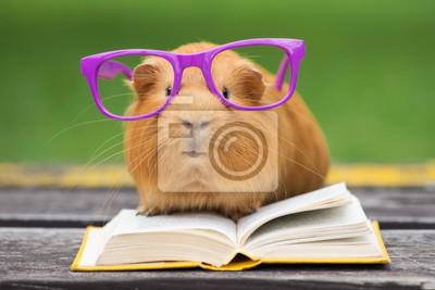 Naklejka Zabawna świnka morska w okularach czyta książkę