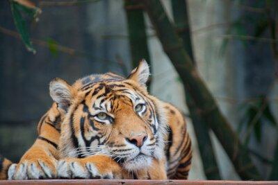 Naklejka Zagrożone Tygrys sumatrzański