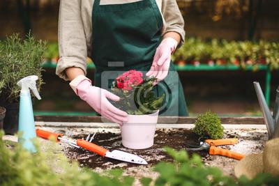Naklejka Zakończenie up kobiet ręki w różowych rękawiczkach zasadza kwiatu w garnku podczas gdy pracujący w szklarni