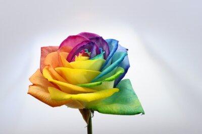 Naklejka Zamknij się tęczy róży kwiat