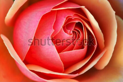 Naklejka Zbliżenie czerwonej róży odsłaniającej wzory, tekstury i detale