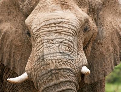 Zbliżenie głowy kły słonia z pełnym błota