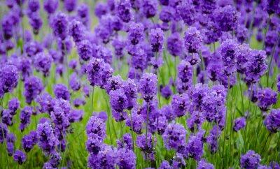 Naklejka Zbliżenie kwiatów lawendy