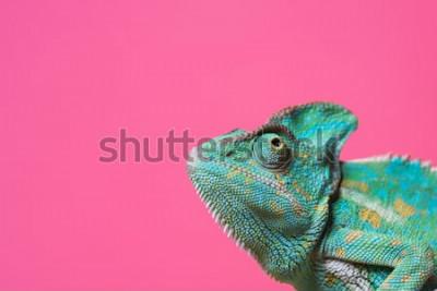 Naklejka zbliżenie ładny kolorowy egzotyczny kameleon na różowo