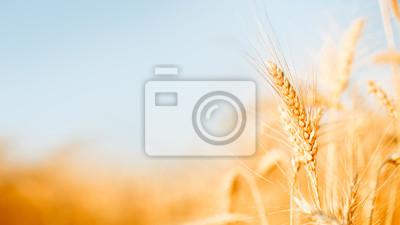 Naklejka Zdjęcie pszenicy spikelets w dziedzinie