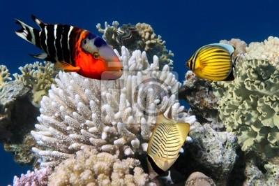 Naklejka Zdjęcie z koralowców kolonii na Rafa