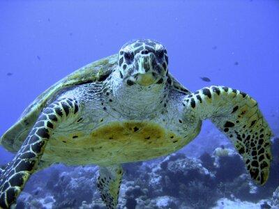 Naklejka Zdjęcie z zagrożonych hawksbill morza