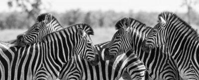 Naklejka Zebra herd in black and white photo with heads together