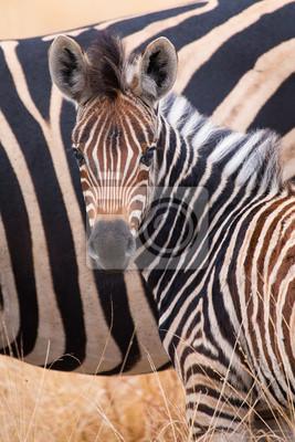 Naklejka Zebra herd in colour photo with heads together