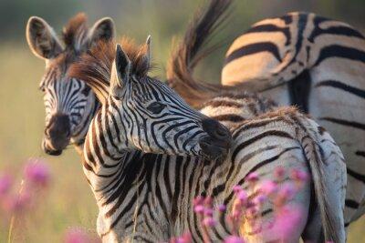 Naklejka Zebra herd with young ones grazing on grass and wildflowers
