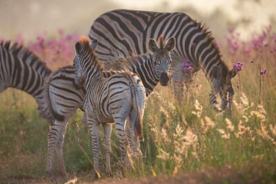 Naklejka Zebra herd with young ones grazing on grass and wildflowers