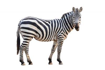 Naklejka zebra izolowane