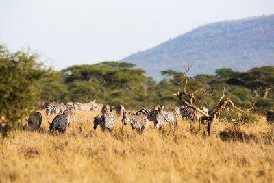Naklejka Zebra jedzenia w Afryce