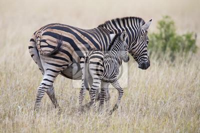 Zebra klacz i źrebię stojąc blisko siebie w krzakach za bezpieczeństwo