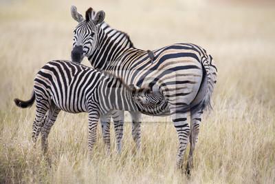 Naklejka Zebra klacz i źrebię stojąc blisko siebie w krzakach za bezpieczeństwo
